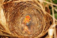Nid d'oiseau avec deux poussins affamés Photographie stock libre de droits
