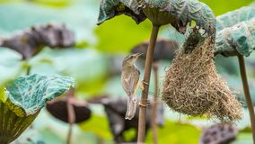 Nid d'oiseau de construction d'oiseau (Prinia simple) dans la nature Photographie stock