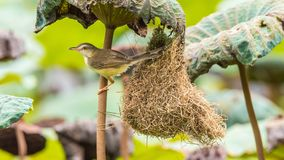 Nid d'oiseau de construction d'oiseau (Prinia simple) dans la nature Photos libres de droits