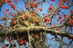 Nid d'oiseaux dans l'arbre, baies rouges Photos stock