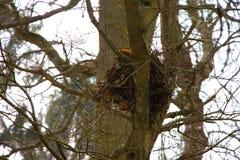 Nid d'un écureuil gris sur un arbre en Grande-Bretagne photo libre de droits