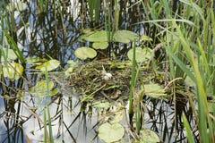 Nid de canard avec des oeufs dans l'herbe Photos stock