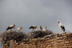 Nid de cigognes blanches Photographie stock libre de droits