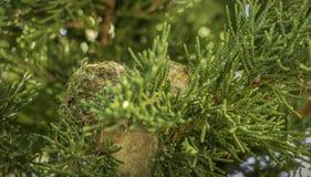 Nid de colibri dans l'arbre à feuilles persistantes Washington State photographie stock