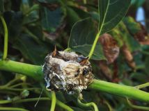 Nid de colibris photo libre de droits