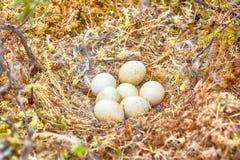 Nid de flammeus d'Asio de hibou de marais Images libres de droits
