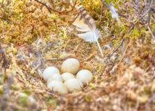 Nid de flammeus d'Asio de hibou de marais Photos libres de droits