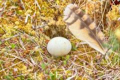 Nid de flammeus d'Asio de hibou de marais Photos stock