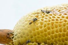 Nid de florea d'api Image stock