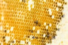 Nid de florea d'api Photos stock