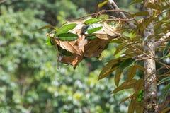 Nid de fourmi sur un arbre Photographie stock libre de droits