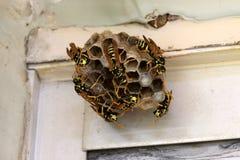 Nid de guêpe avec des abeilles et des guêpes Photographie stock
