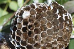 Nid de guêpe avec des larves Photo stock