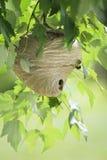 Nid de guêpe dans l'arbre Photo stock