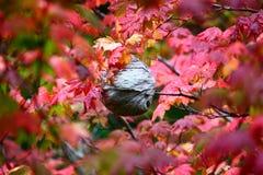Nid de guêpe de papier dans l'arbre d'érable, Washington State images libres de droits
