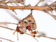Nid de guêpe sur la branche d'arbre Photos libres de droits