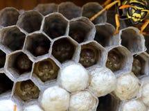 Nid de guêpes avec la larve photographie stock libre de droits
