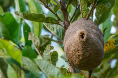 Nid de nid d'abeilles de guêpe sur la branche d'arbre Photos stock