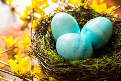 Nid de Pâques de ressort avec les oeufs bleus sur les branches jaunes de forsythia Photographie stock