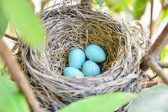 Nid de Robin d'Américain avec 4 oeufs bleus Photographie stock libre de droits
