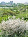 Nid des chenilles Processionary de chêne envahissant toxique Image libre de droits