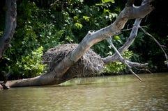 Nid en rivière de la Gambie Images stock