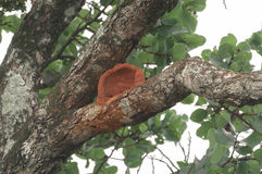 Nid rouge d'Ovenbird sur une branche d'arbre images libres de droits