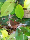 Nid rouge de fourmis sur les feuilles vertes photo libre de droits