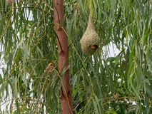 Nid vide d'oiseau de tisserand sur le bananier dans la ferme extérieure photos stock