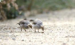 Nidada de las codornices del ` s de Gambel de los polluelos del bebé, humedales de Sweetwater en Tucson Arizona los E.E.U.U. fotos de archivo libres de regalías