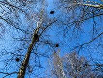 Nidi degli uccelli dai ramoscelli sui rami di albero fotografia stock
