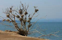 Nidi del Cormorant in un albero Immagine Stock