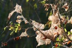 Nidi del ragno che appendono negli alberi Fotografia Stock Libera da Diritti