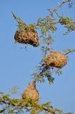 Nidi dell'uccello del tessitore Immagine Stock
