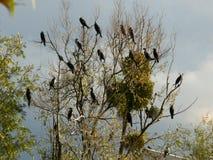 Nidi di grandi cormorani sopra Cher Cherry Cross in Touraine immagini stock libere da diritti