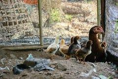 Nidiata Asia di Ckicken Fotografia Stock