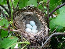 Nido con le uova dell'uccello fotografie stock
