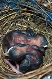 Nido degli uccelli con gli uccelli di bambino dell'uovo Fotografia Stock