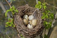 Nido degli uccelli con le uova Immagini Stock Libere da Diritti