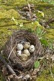 Nido degli uccelli con le uova Fotografia Stock
