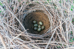 Nido degli uccelli con le uova Immagine Stock