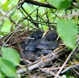 Nido degli uccelli di bambino in albero Fotografie Stock Libere da Diritti