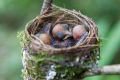 Nido degli uccelli di neonato Immagine Stock