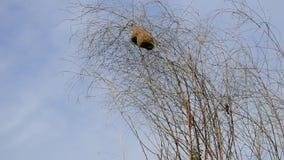 Nido degli uccelli sull'albero asciutto video d archivio