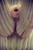 Nido del cactus e dell'uccello del Saguaro Fotografia Stock Libera da Diritti