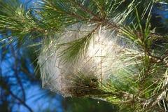 Nido del lepidottero di processionaria del pino su un ramo Immagine Stock