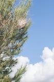 Nido del pino dei vermi Fotografie Stock Libere da Diritti