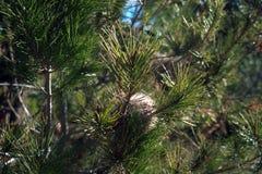 Nido del procesionaria del pino Trattori a cingoli tossici Fotografie Stock