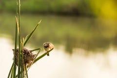Nido del ` s dell'uccello vicino al fiume ed alla femmina Immagini Stock