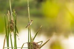 Nido del ` s dell'uccello vicino al fiume ed alla femmina Fotografia Stock Libera da Diritti